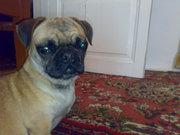 продаётся собака породы мопс. возраст 2.5 года сучка