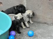 Супер швабры щенки