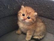 Котенок мейн кун-ласковый гигант-Ягуар