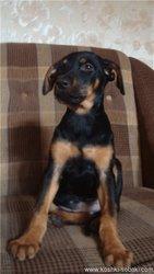Чистокровный щенок добермана в самарканде,  продажа