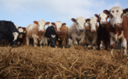 Мы реализуем крупный рогатый скот из России в Узбекистан.